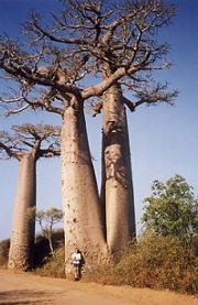 Fotka stromu baobab